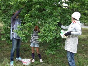 生梅の収穫体験